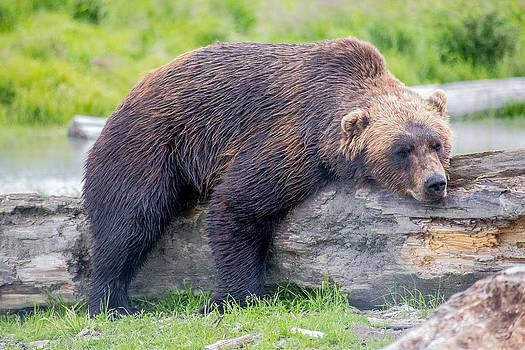 Alaskan Brown Grizzly Bear by Tyler Olson