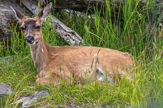 Alaskan Deer by Tyler Olson