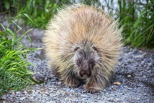Alaskan Porcupine by Tyler Olson