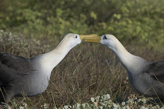 Albatross perform courtship ritual by Richard Berry