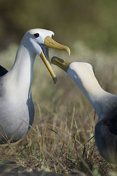 Albatross perform mating ritual by Richard Berry