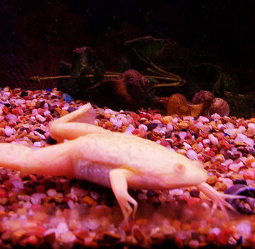 Albino African Frog by Shere Crossman