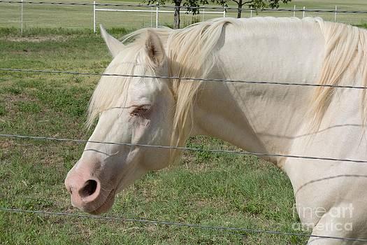 LNE KIRKES - Albino Stallion