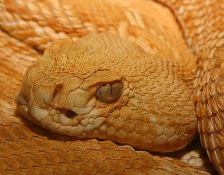 Albino Western Diamondback Rattlesnake by Old Pueblo Photography