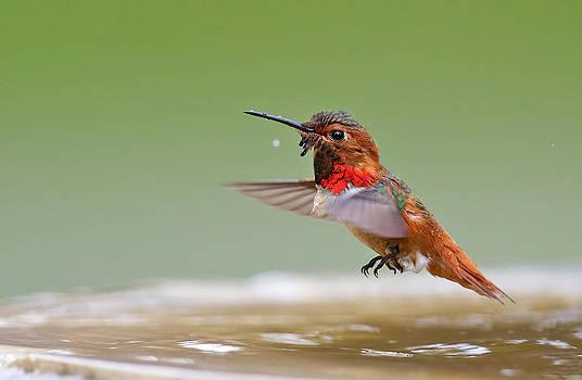 Allen's Hummingbird by Thy Bun