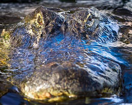Alligator Ahead by Mark Andrew Thomas