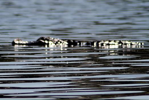 Alligator Ali 2 by Marcia Crispino