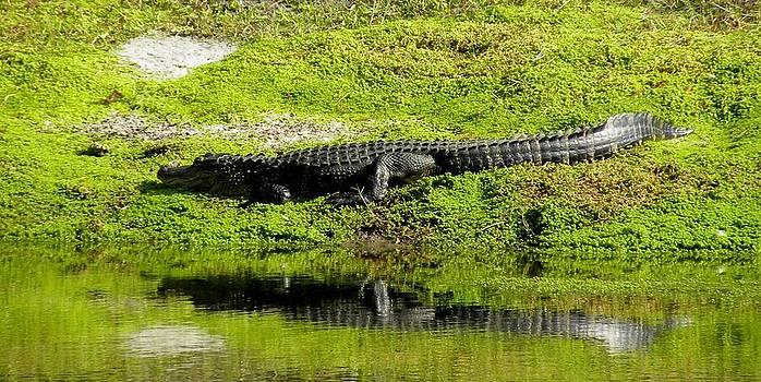 Alligator by Anna Baker