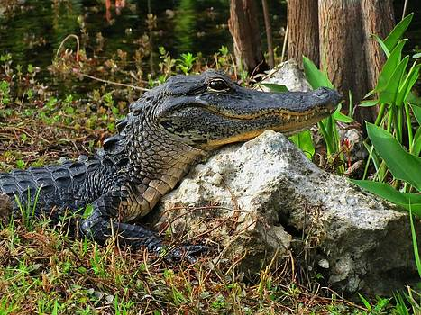 Alligator closeup Everglades Florida by Bill Marder