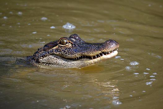 Alligator by Heidi Pence