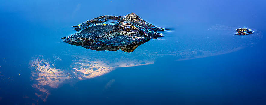 Alligator Panorama by Mark Andrew Thomas