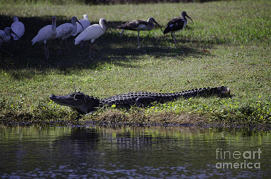 Dale Powell - Alligator Sunning