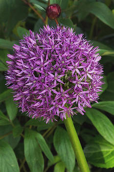 Allium Hollandicum by Wayne Molyneux