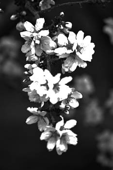 Almond Blossom by Joe Bledsoe