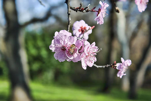 Almond blossoms  by Abram House