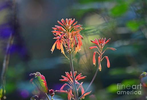 Wayne Nielsen - Aloe Blooms in Colorful Garden Bliss
