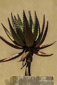 Aloe Ferox by Daniela White