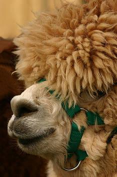 Alpaca by Gillian Dernie