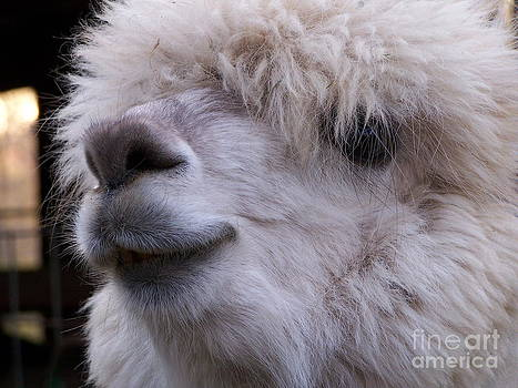Alpaca by Pamela Walters