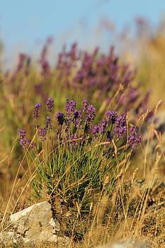 Alex Sukonkin - Alpen Lavender
