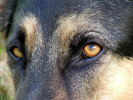Alsatian German Shepherd Eyes by Lisza Anne McKee