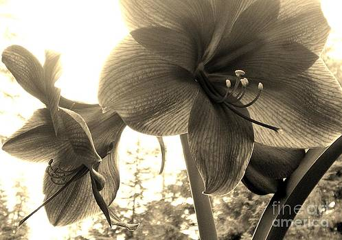 Amaryllis in Bloom by Laura  Wong-Rose