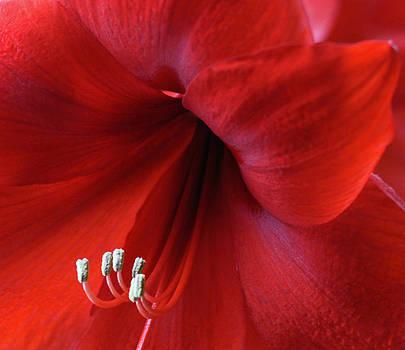 Amaryllis by Joan Powell