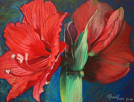 Amaryllis by Kitty Harvill