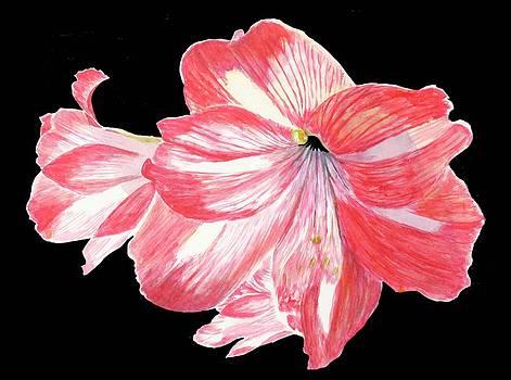 Amaryllis by Nancy Nuce