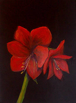 Amaryllis on Black by Shere Crossman