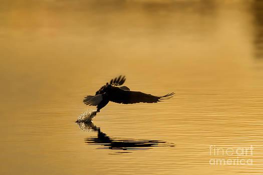 Dan Friend - Amercian bald eagle grabbing fish out of water