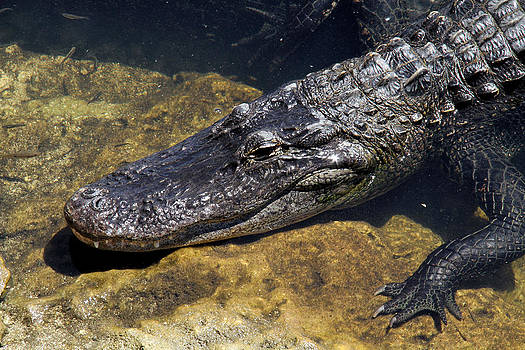 Doris Potter - American Alligator