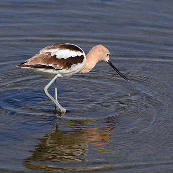 American Avocet by Bob and Jan Shriner