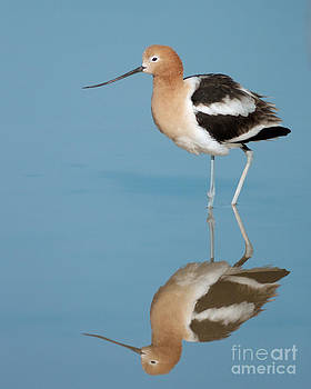 American Avocet by Doug Herr