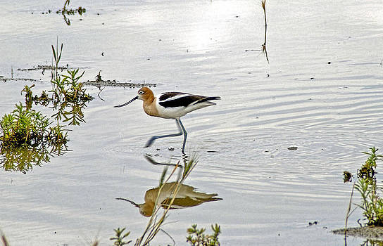 James Steele - American Avocet feeding