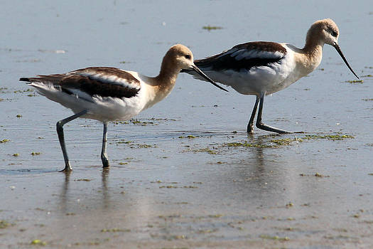 American Avocet by Gerald Murray Photography