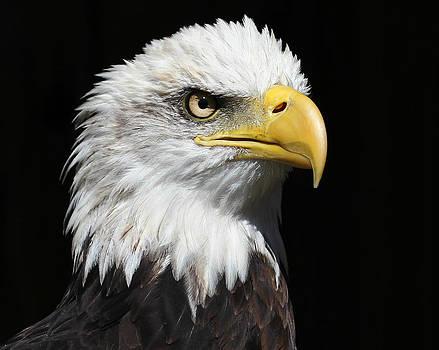 Erin Tucker - American Bald Eagle 2