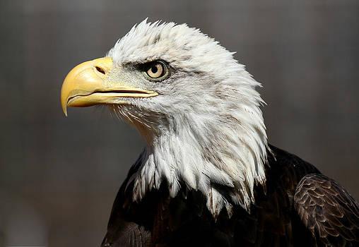 Erin Tucker - American Bald Eagle