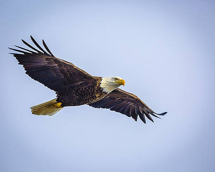 Jack R Perry - American Bald Eagle