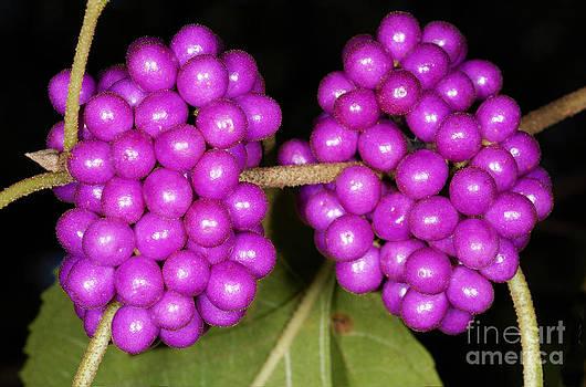 Scott Camazine - American Beautyberry