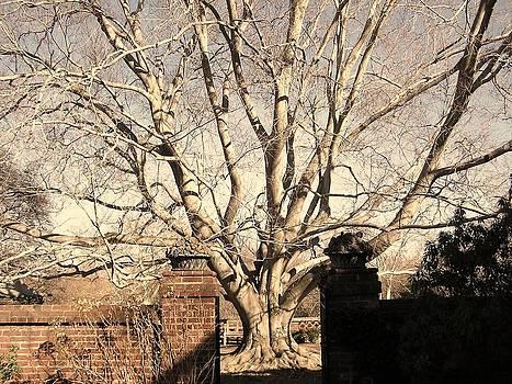 Julie Grandfield - American Beech Tree - Dumbarton Oaks