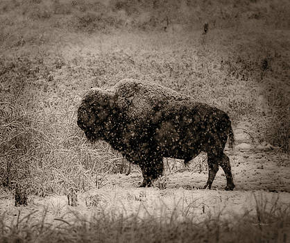 Scott Wheeler - American Bison