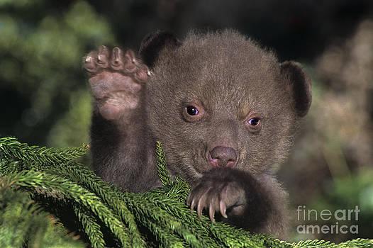 Dave Welling - American Black Bear Cub Wildlife Rescue