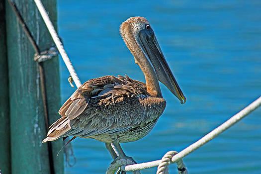 American Brown Pelican by Duane King