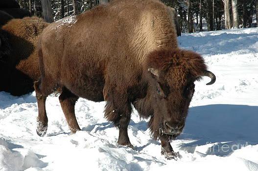 Andre Paquin - American Buffalo