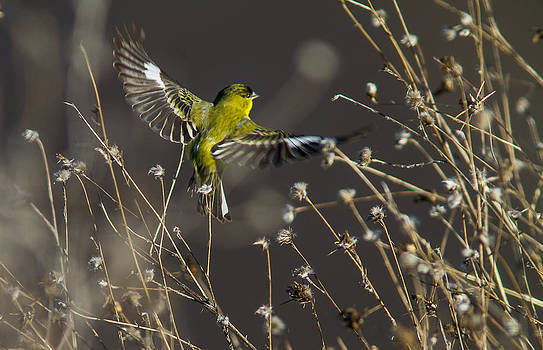American Gold Finch by Brian Williamson