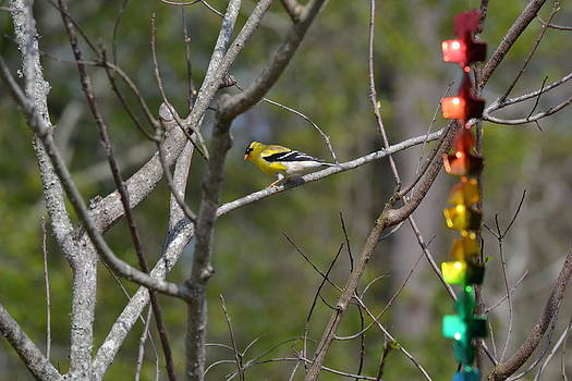 American Gold Finch by Courtney Geck