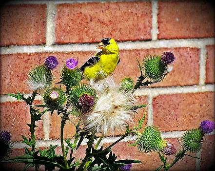 American Goldfinch And Thistle by Christina Shaskus