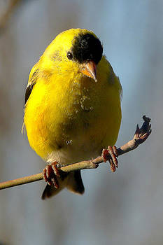 American Goldfinch by Jim Law