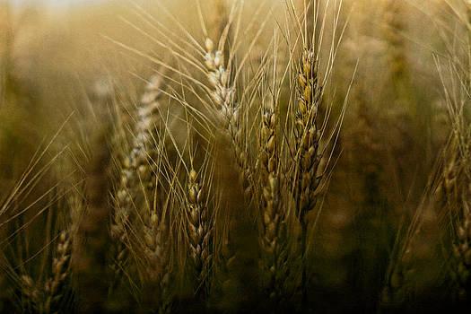 American grain by Randy  Shellenbarger